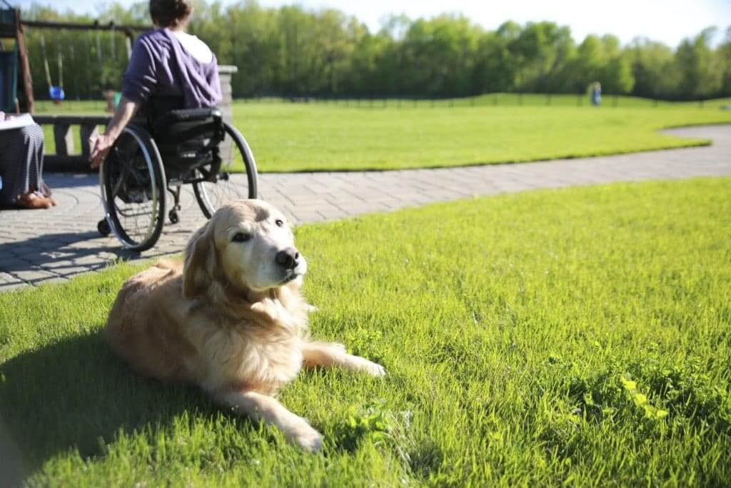 Retired service dog Rocket lounges on his field of green.