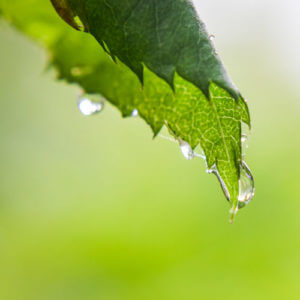 A big tree can hold up to 100 gallons of water after a rain.