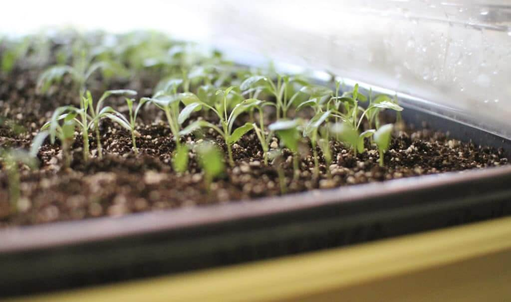Native seeds sprout under the care of the Farnsworth Elementary students.